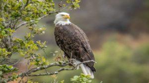 Bald Eagle United States